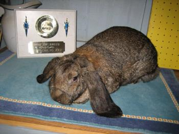 Holland And Holland >> French Lops Bunnies - The Bunny Haven.com lop, dwarf angora Rabbits, Bunnies, Cages, Supplies ...
